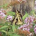 Swallowtail - Papilio cresphontes - male