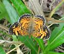 Mimic Crescent - Phyciodes incognitus - female