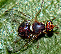 Olive Fruit Fly - Bactrocera oleae