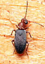 Beetle - Notoxus murinipennis