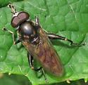Tropidia? - Chalcosyrphus nemorum - male