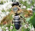 Bee with horizontal wings - Megachile sculpturalis