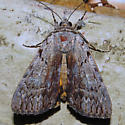 Graceful Underwing - Hodges#8847 - Catocala gracilis