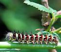 Unknown Caterpillar - 5-22-09 - Vanessa virginiensis