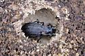 Ground Beetle - Carabus granulatus