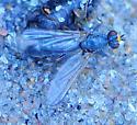 Family Scathophagidae - Dung Flies