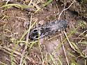 freaky bug - Alaus oculatus