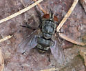 Tachinid fly sp.