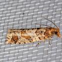 Epinotia - Epinotia sagittana