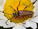 flower longhorn - Stenocorus vestitus