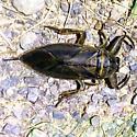 Giant Water Bug - Lethocerus