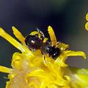 Tiny bee on Scale-Broom - Ceratina arizonensis