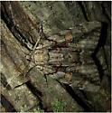 Catocala flebilis - Hodges #8782 - Catocala flebilis