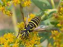 Stripe-eyed fly - Spilomyia longicornis