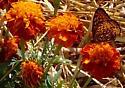 Which Fritillary? - Speyeria atlantis - female