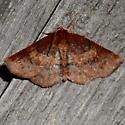 Geometrid Moth - Metarranthis angularia