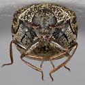 Carpet Beetle - Anthrenus castaneae