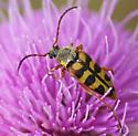 Unknown beetle - Typocerus sinuatus