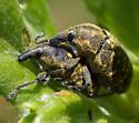 Larinus turbinatus - male - female