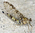 Another Lick Observatory Mayfly - Callibaetis pictus