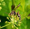 Pseudoplisus phaleratus - Saygorytes phaleratus