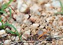 Rufous Grasshopper - Heliaula rufa - female
