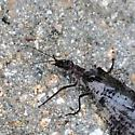 Spotted Giant Lacewing?