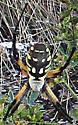 Black and Yellow Argiope - Argiope aurantia