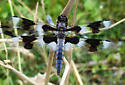 Dragonfly sp - Libellula forensis