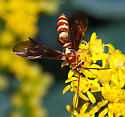 Wasp on goldenrod - Ceratogastra ornata - female