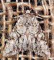 Moth - Achatia distincta