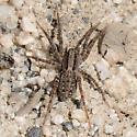 Tahoe trail spider - Alopecosa