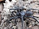 Folding-door spider - Antrodiaetus unicolor - male