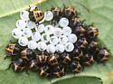 Brown Marmorated Stink Bug nymphs - Halyomorpha halys