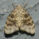 Small white and brown moth - Clemensia ochreata