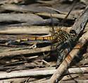 Seaside Dragonlet (Erythrodiplax berenice) - Erythrodiplax berenice - female