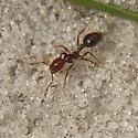 Ant species nesting in a row - Solenopsis invicta