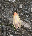 Painted Lichen Moth - Hypoprepia fucosa