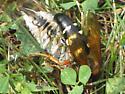 Eastern Cicada Killer? - Sphecius speciosus