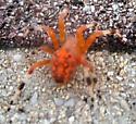 Unknown, found in southeastern Pennsylvania  - Araneus marmoreus