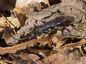Blue-black wasp - Priocnemis minorata