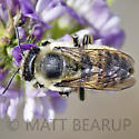 Large Leafcutter - Megachile perihirta - female