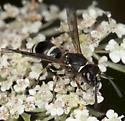 Wasp IMG_5298 - Ancistrocerus albophaleratus