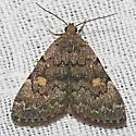Common Idia - Hodges#8323 - Idia aemula