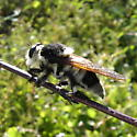 Bee-like Robber Fly? - Mallophora bomboides
