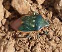 High Altitude Beetle - Chlorochroa sayi