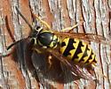 Maybe a Carpenter Bee? - Vespula pensylvanica - female