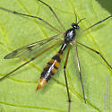Crane fly from today - Ptychoptera quadrifasciata - female