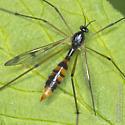 Crane fly from today - Ptychoptera quadrifasciata - female