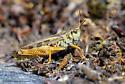 Grasshopper ID - Camnula pellucida